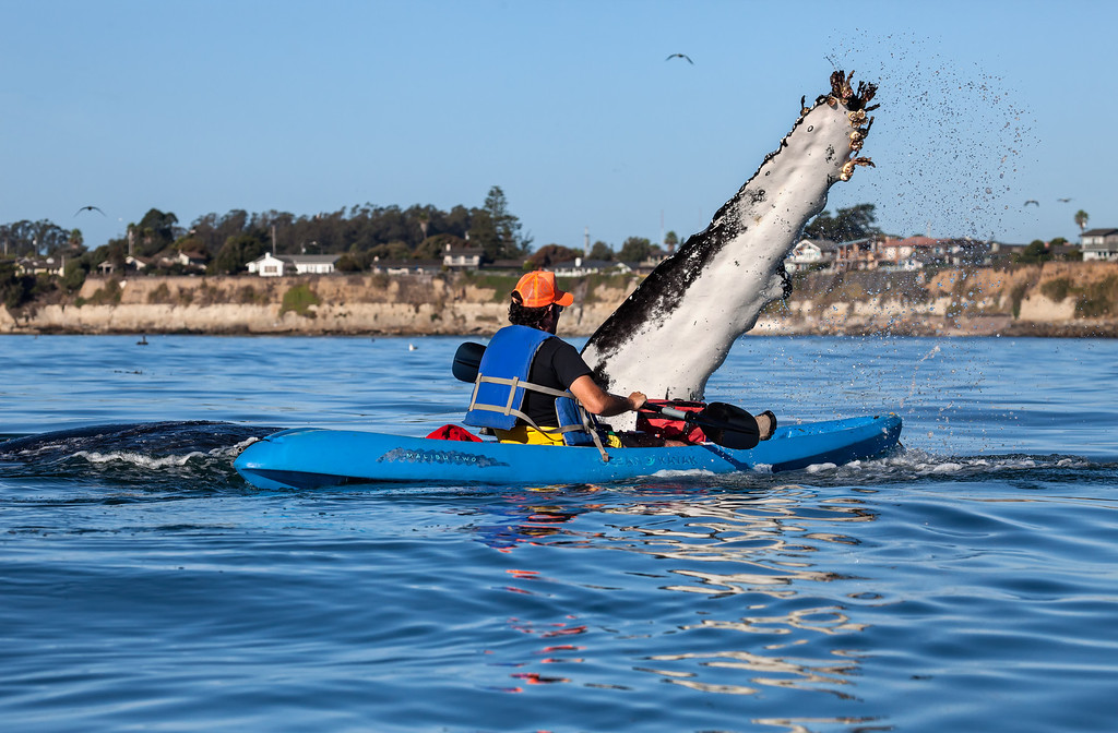 . A kayaker nearly gets a high-five from a humpback whale last month near Capitola. (Photo courtesy of Giancarlo Thomae)