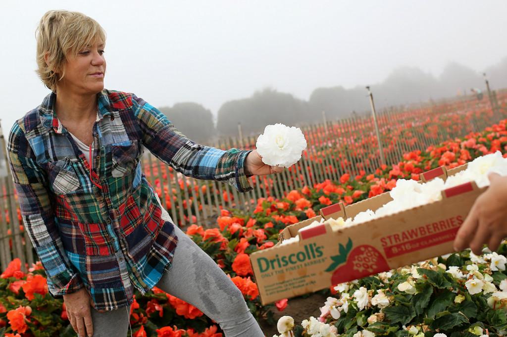 . Noel Castellanos helps pick begonias for her 13th year in Marina on Saturday. (Kevin Johnson -- Santa Cruz Sentinel)