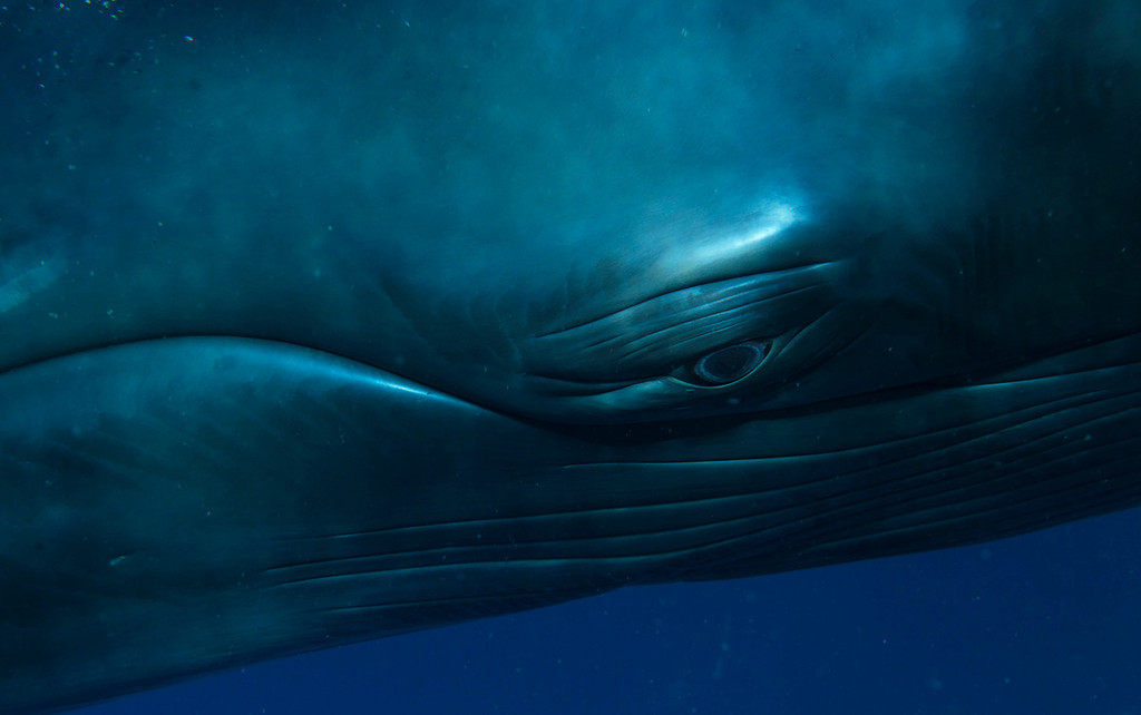 . Minke whale portrait. Photo by Bryant Austin. See more at <a href=\'http://www.studiocosmos.com/limited_editions.html\'>http://www.studiocosmos.com/limited_editions.html</a>.