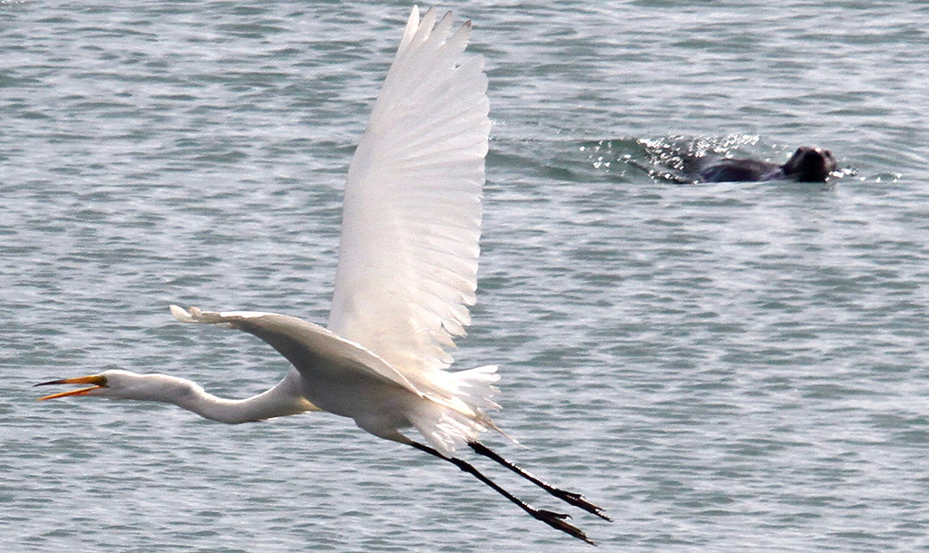 . A sea otter keeps an eye on an egret flying low over the slough. Young Women in Science kayak in Elkhorn Slough. (Shmuel Thaler/Sentinel)