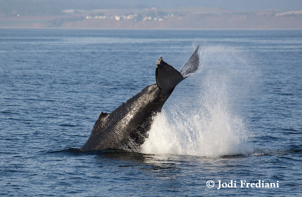. This humpback calf engaged in repeat tail lobs. Humpback whales are noted for their energetic acrobatics. (Photo courtesy of Jodi Frediani/Monterey Bay Whale Watch)