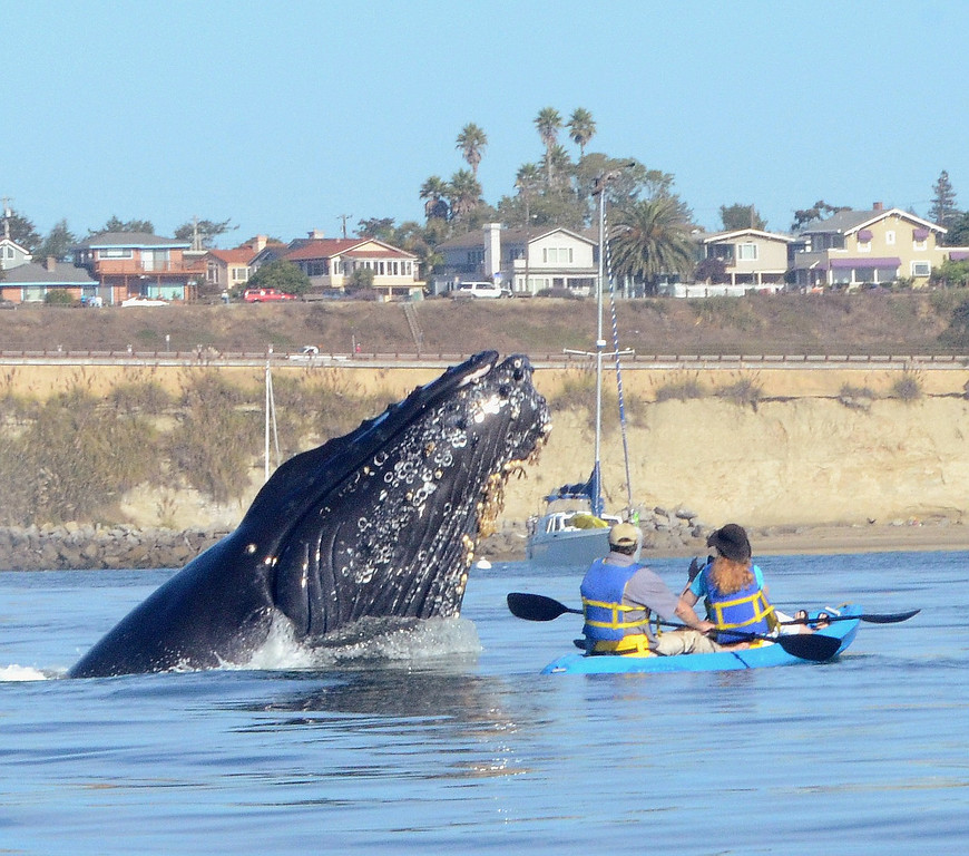 . Humpback whales congregated off Capitola over the last month, drawing onlookers. (Photo courtesy of Giancarlo Thomae)