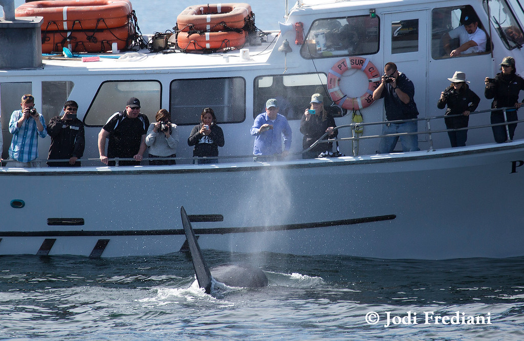 . A killer whale known as Fat Fin, well known around the Monterey Bay, approaches the Pt. Sur Clipper just after separating a sea lion from dozens feeding on nearby anchovies. He brought his prey to the Clipper, then dove under the boat, where he presumable presumably consuming his kill. (Photo courtesy of Jodi Frediani/Monterey Bay Whale Watch)
