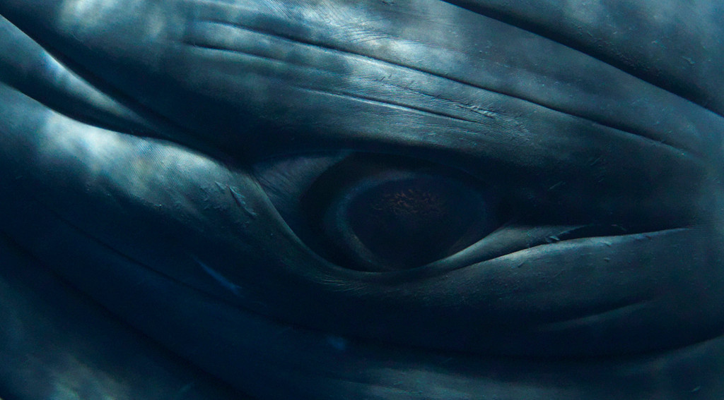 . Minke whale eye. Photo by Bryant Austin. See more at <a href=\'http://www.studiocosmos.com/limited_editions.html\'>http://www.studiocosmos.com/limited_editions.html</a>.
