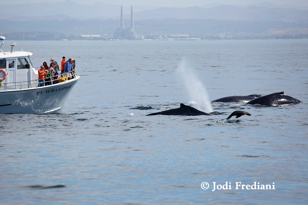 . A group of feeding humpback whales and a lone sea lion surface recently near the stationary Pt. Sur Clipper. (Photo courtesy of Jodi Frediani/Monterey Bay Whale Watch)