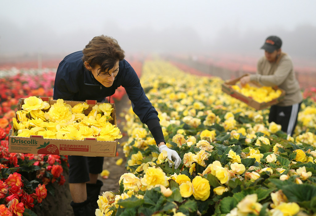 . A blanket of fog fails to dampen the cheery mood in Marina on Saturday as Cynthia Rotwein picks colorful begonias for the upcoming Begonia Festival nautical parade. (Kevin Johnson -- Santa Cruz Sentinel)