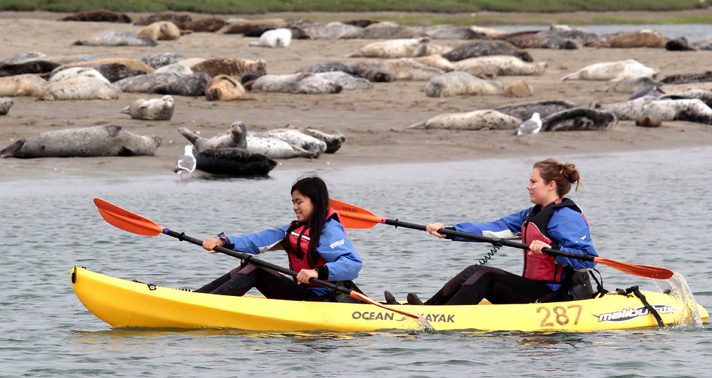 . Young Women in Science kayakers paddle past harbor seals lazing on the shore in Elkhorn Slough. (Shmuel Thaler/Sentinel)