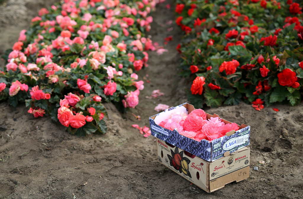 . Pink begonias are boxed and ready to be hauled to Capitola from Marina on Saturday for the upcoming Begonia Festival Nautical Parade. (Kevin Johnson -- Santa Cruz Sentinel)