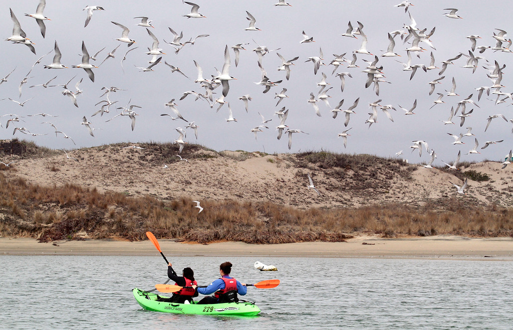. A flock of terns greets kayakers from Young Women in Science they paddle into Elkhorn Slough. (Shmuel Thaler/Sentinel)