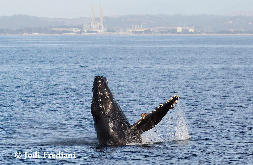. A humpback whale calf breaches Monterey Bay, with Moss Landing in the background. This whale and his mother have made frequent appearances in the late summer and early fall, at one point frolicking just off the Santa Cruz Municipal Wharf. (Photo courtesy of Jodi Frediani/Monterey Bay Whale Watch)