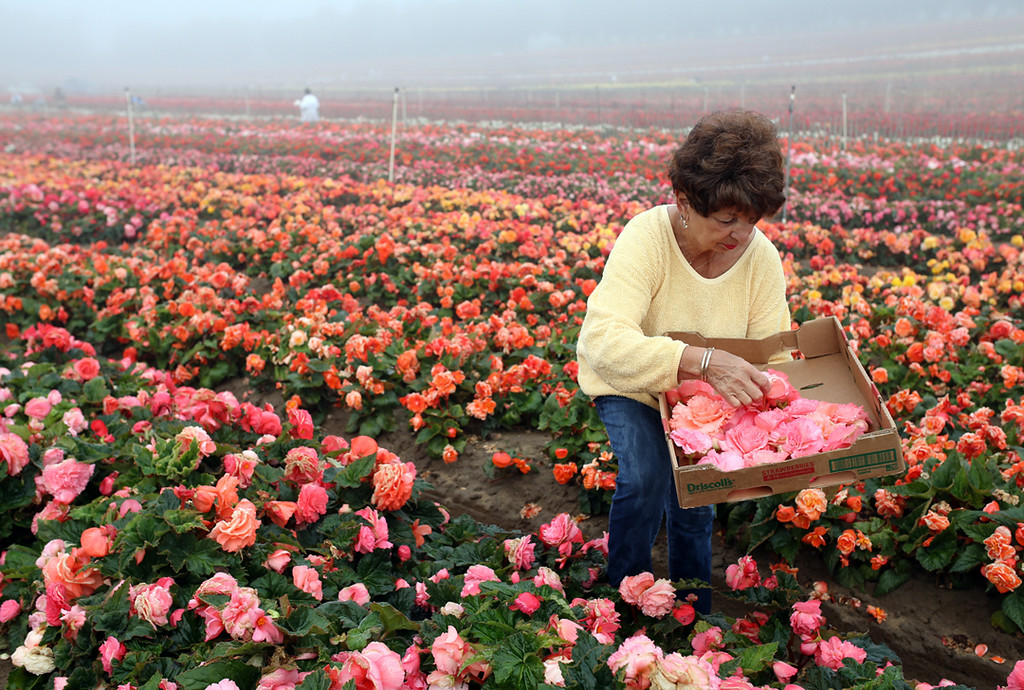 . Anita Sciutto, who lives along Soquel Creek in Capitola Village, collects begonias for her windmill house float for the upcoming Begonia Festival Nautical Parade. (Kevin Johnson -- Santa Cruz Sentinel)