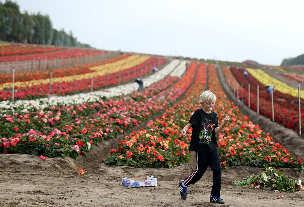 . Grant Schiff, 10, dances amongst acres of colorful begonias in Marina on Saturday. (Kevin Johnson -- Santa Cruz Sentinel)