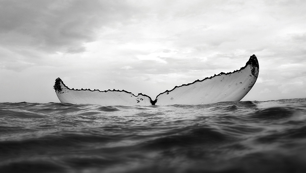 . Humpback whale fluke. Photo by Bryant Austin. See more at <a href=\'http://www.studiocosmos.com/limited_editions.html\'>http://www.studiocosmos.com/limited_editions.html</a>.