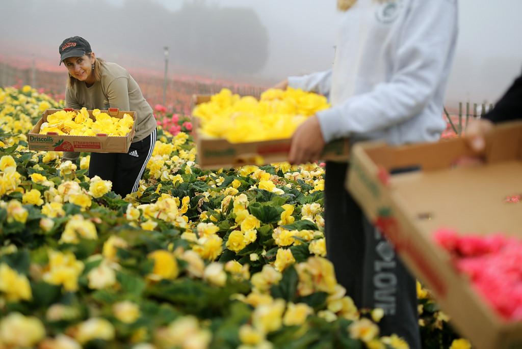 . Lynn Plecque picks begonias in Marina on Saturday for the upcoming Begonia Festival Nautical Parade. (Kevin Johnson -- Santa Cruz Sentinel)