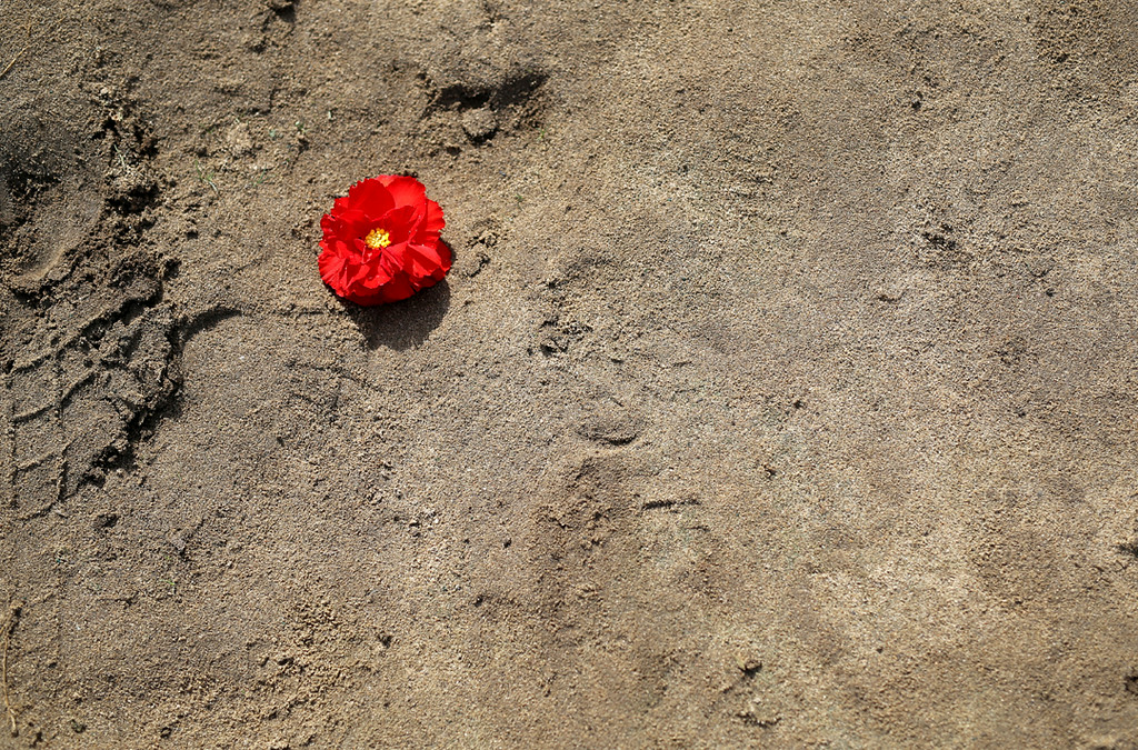 . A lone flower lays in the sand in Marina Saturday as dozens pick flowers for the Begonia Festival Nautical Parade. (Kevin Johnson -- Santa Cruz Sentinel)